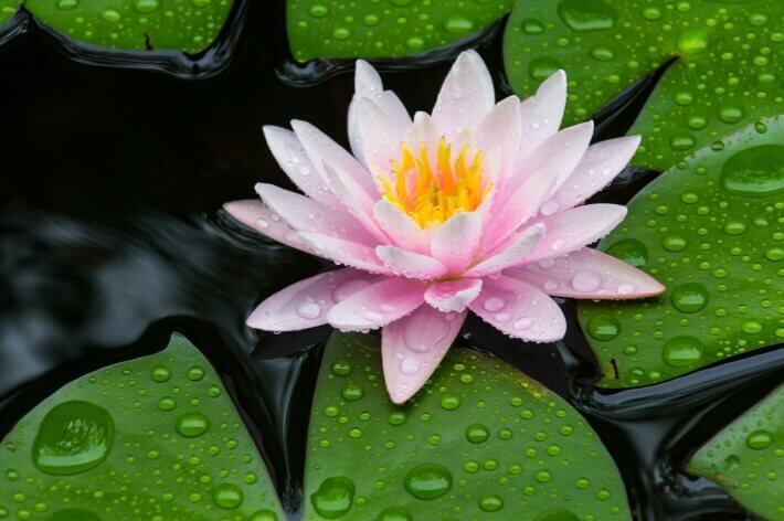 Lotos symbol harmónie a šťastia